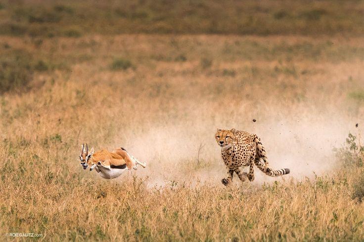 gazelle-chased